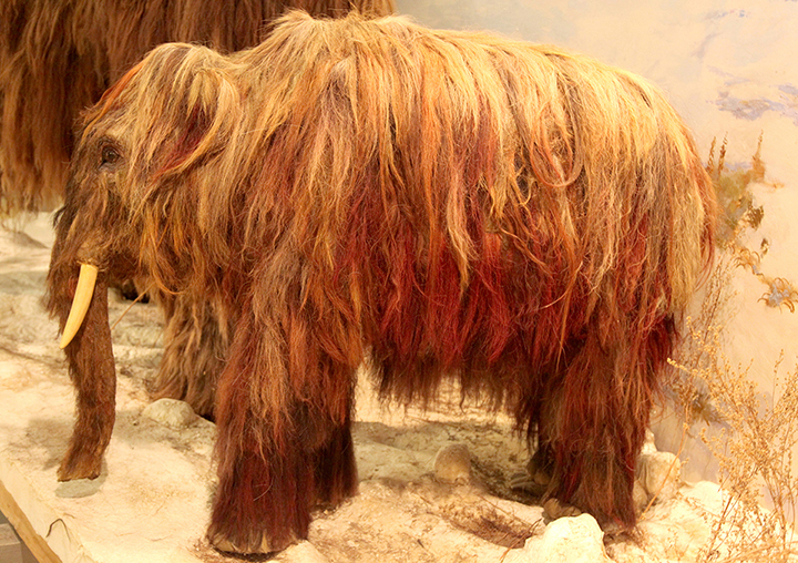 A baby woolly mammoth in Mammoth Museum, Yakutsk