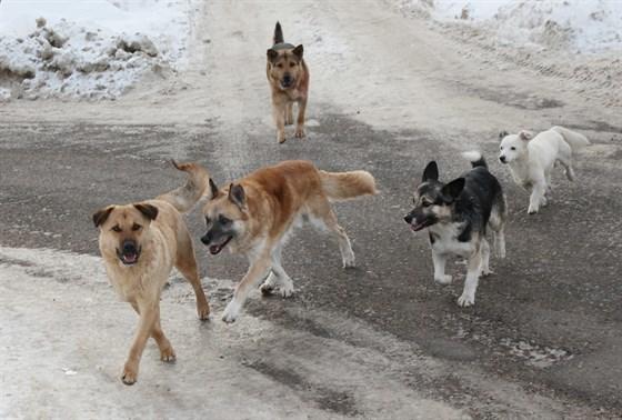 Самый крупный президентский грант выделен на кастрацию бродячих животных в Якутске