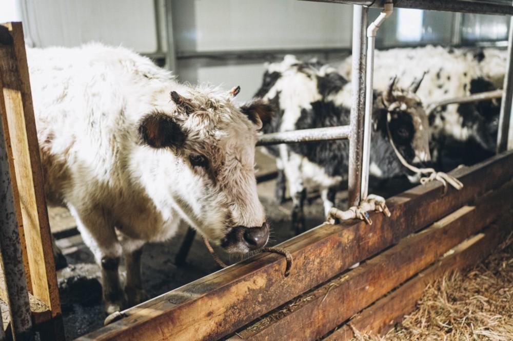 В Саккырыре будут производить эксклюзивный сыр из молока якутской коровы