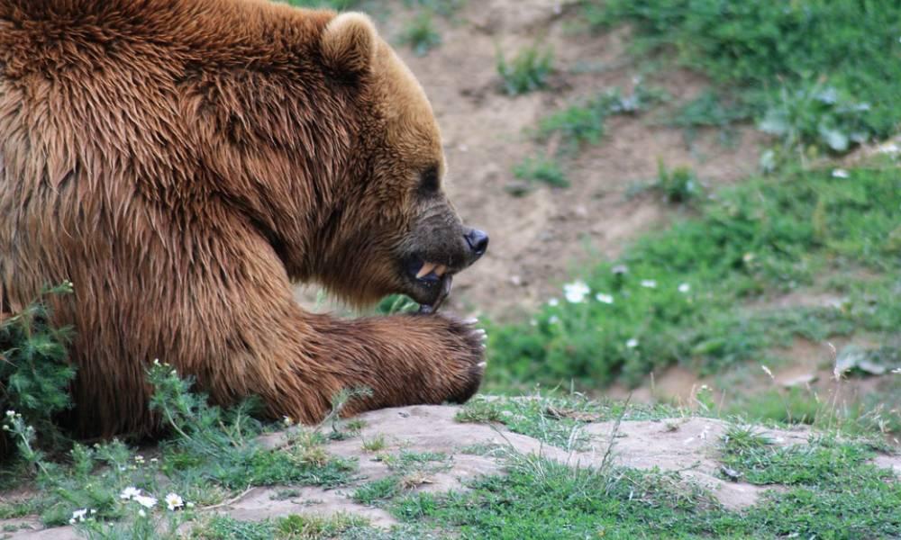 В Якутии грибники спаслись от медведя благодаря собаке и ракетнице