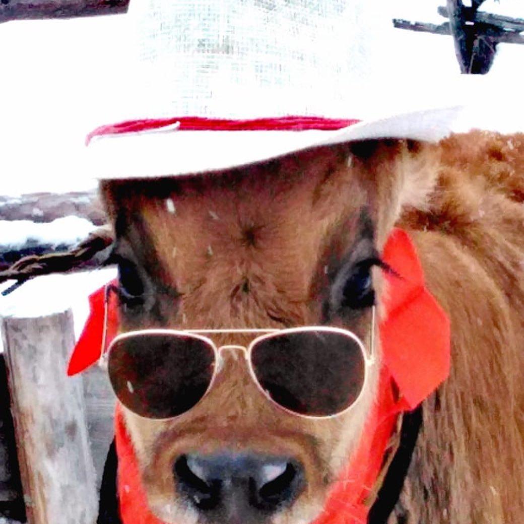 Якутские быки-близнецы Оотой и Тоотой стали победителями конкурса красоты среди КРС