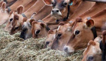 фермер коровы