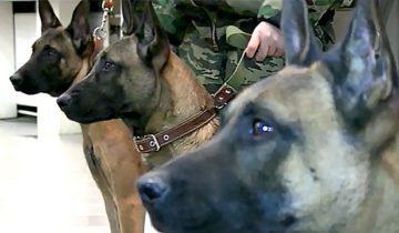 собаки клоны-2