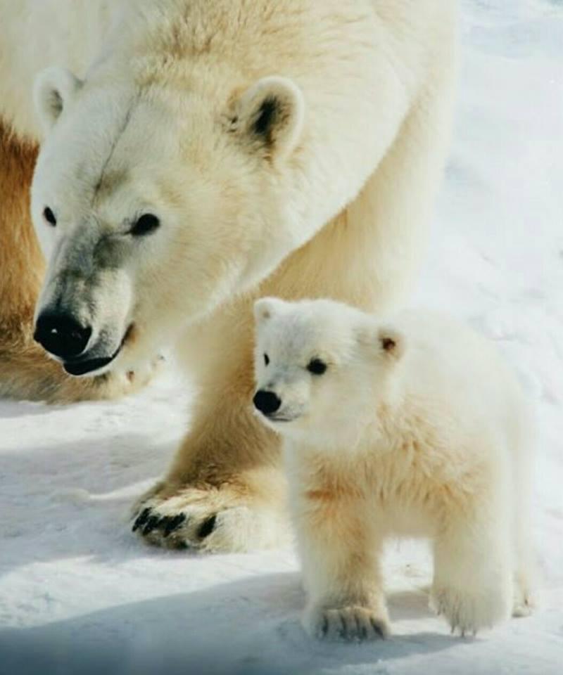 24294185_1920775507952566_3475083431542142580_n Сегодня состоится передача белой медведицы Харчааны зоопарку Петербурга