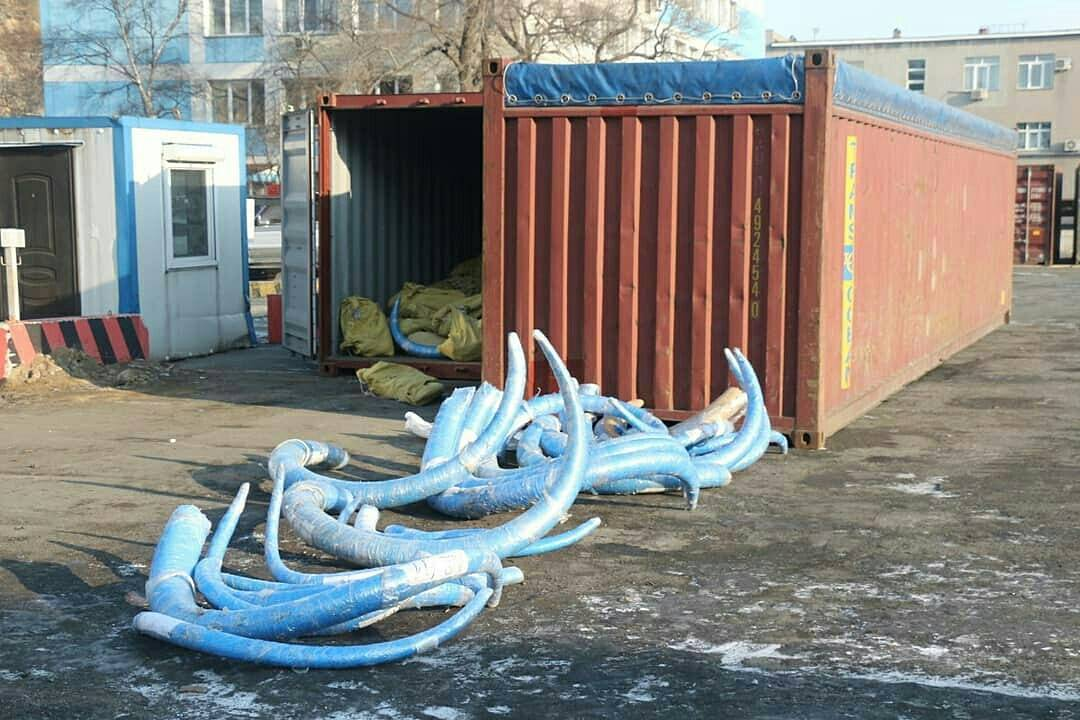 27575301_418820138578508_703926508246269952_n В Приморье задержали крупнейшую в своей практике партию бивней мамонта из Якутии