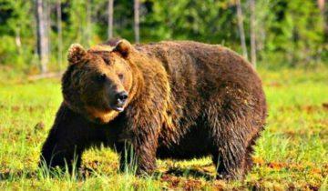 медведь, якутия