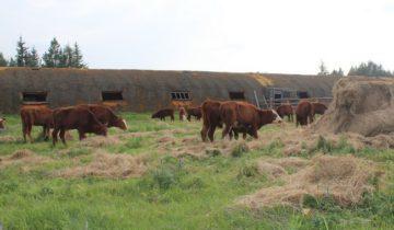 сельское хозяйство, коровы