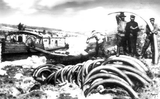 Погрузка бивней мамонта. Северная Якутия