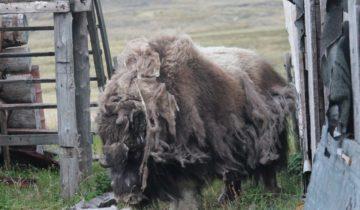 овцебык тикси